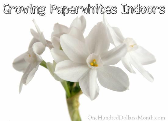 Growing Paperwhites Indoors
