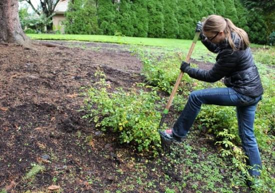 digging-up-rose-bushes