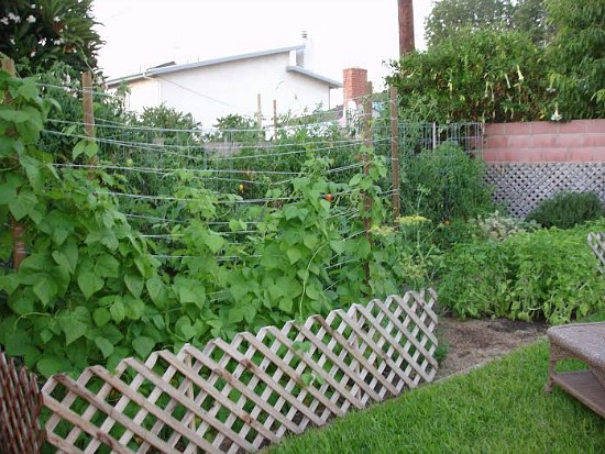 growing pole beans with lattice