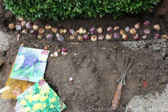planting hyacinth bulbs