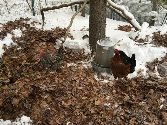 leaves on snow for chickens in winter