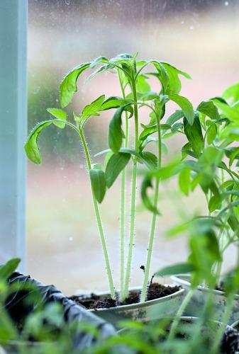 leggy plant