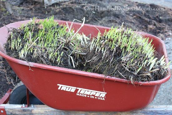 transplanting Daylilies