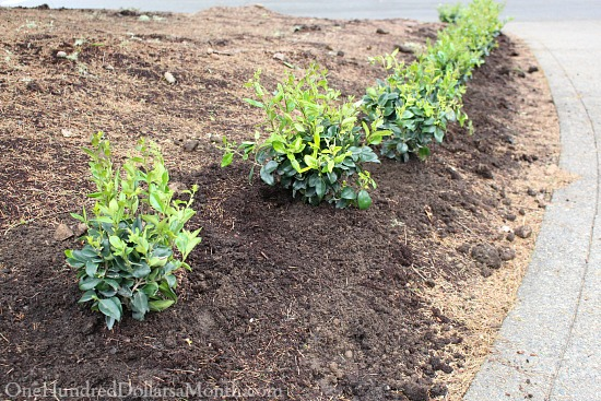planting a hedge
