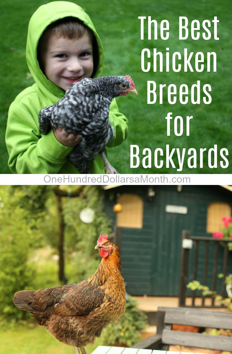 I get a lot of emails asking me about the best breeds for backyard chickens,  and with baby chick season right around the corner, I thought I would just  ... - What Are The Best Chicken Breeds For Backyards? - One Hundred