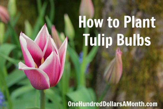 Ask Mavis Saving Tulip Bulbs Pruning Potatoes Growing Radishes
