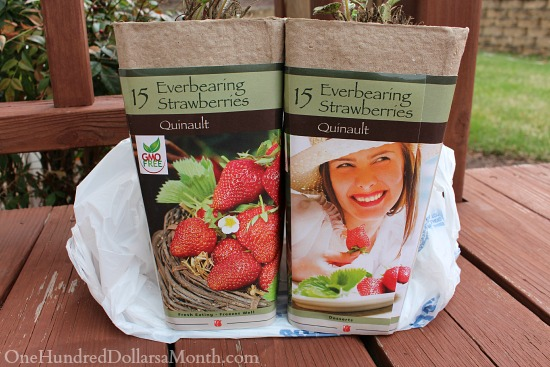 everbearing strawberry palnts