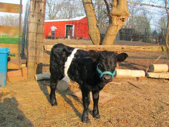 mavis the cow