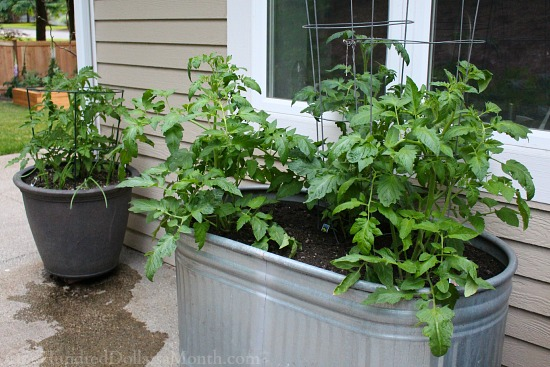 planting vegetables in galvanized containers