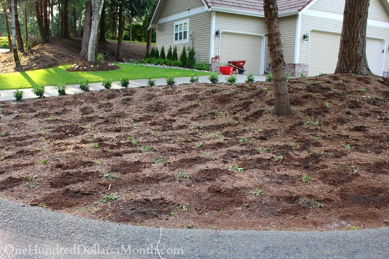 planting vinca minor