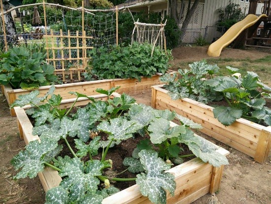 growing zucchini in cedar garden boxes