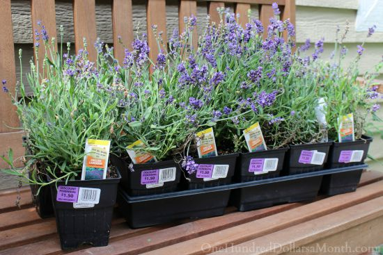 lavender plants the home depot flower clearance