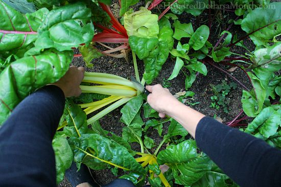 harvesting swiss chard