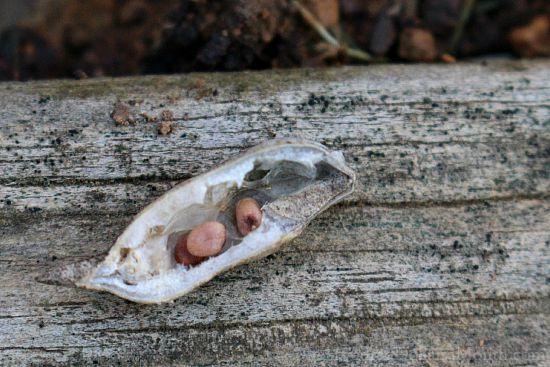 turnip seed pod