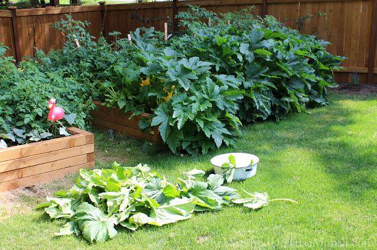 zucchini plants in garden boxes