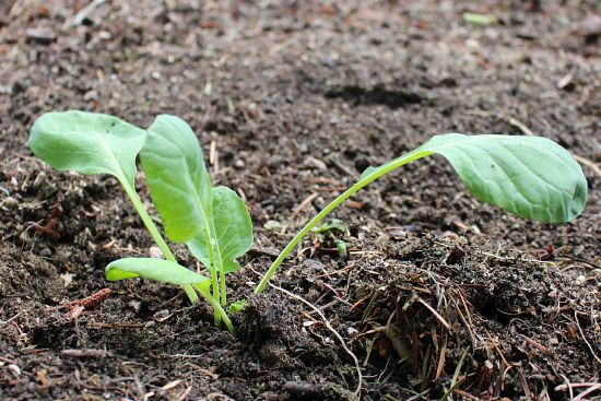 brussels sprouts seedling