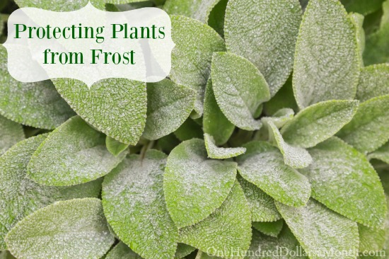 Protecting Plants from Frost