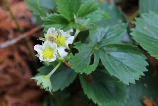tristar strawberry flower