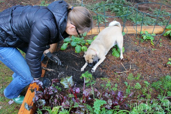 lucy the puggle dog digging for potatoes