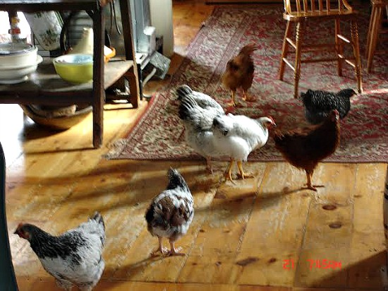 chickens in the kitchen