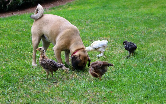 lucy puggle dog and chicks
