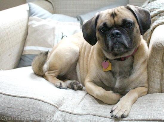 lucy-puggle-dog1