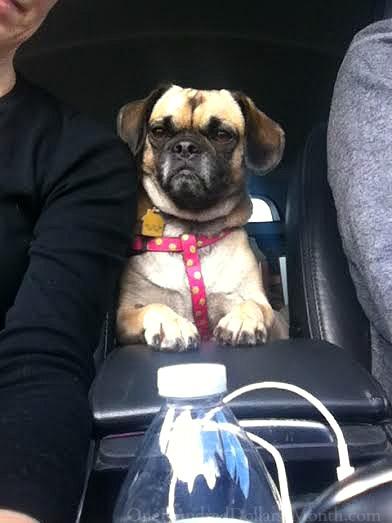 Lucy puggle car