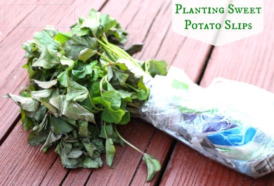 Planting Sweet Potato Slips