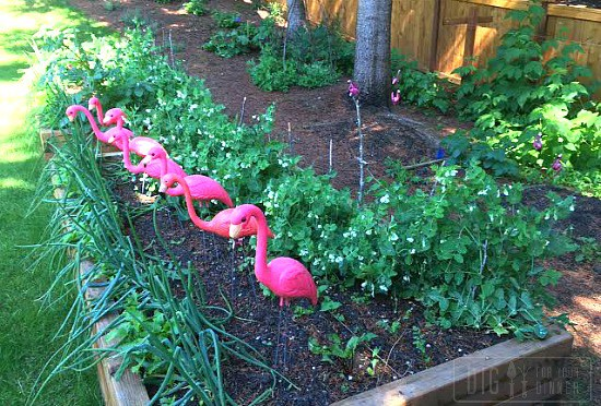 growing-onions-in-raised-garden-beds-1