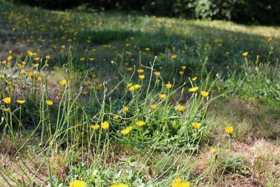 field of dreams dandelions