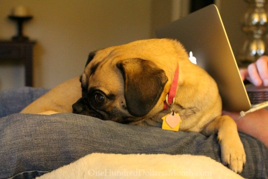 lucy-the-puggle-dog