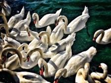 Swans in Geneva Lake