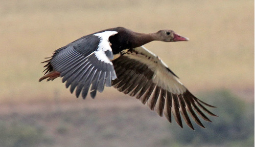 Spur-Winged