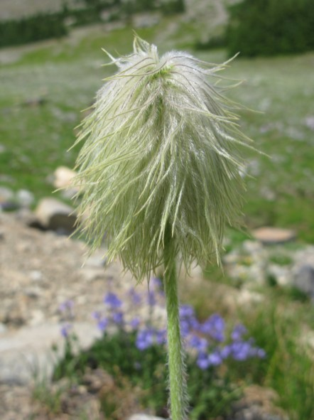 "Or rather, ""seed pod"" as this is the seed pod of the mountain anenome. They remind me of Dr Suess's Truffula Trees."