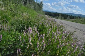 Fireweed was quite common and added color everywhere.