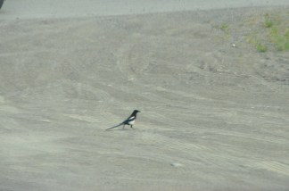 Magpie. They seemed to hop sideways a lot.