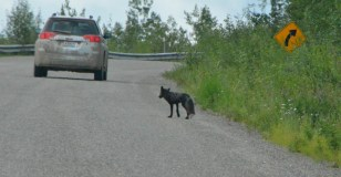 Darker colored, larger fox appeared to be the parent