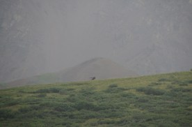 Male Caribou