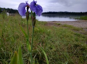 Wild? Iris growing at the edge of the lake. There were quite a few, scattered along the shore, and not just at this lake.
