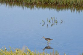 This guy just came walking by (Greater Yellowlegs - per my sister's ID)