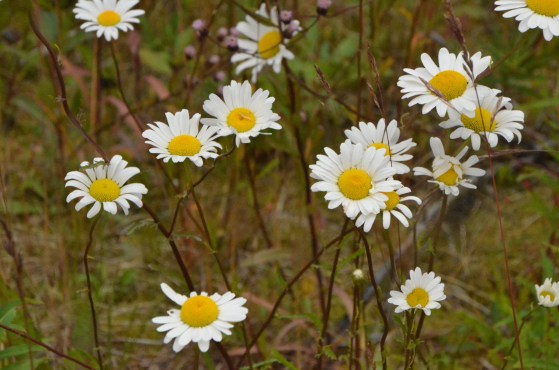 More daisys