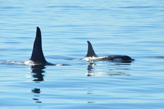 A couple of older Orcas