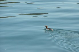 Another Common Murre.
