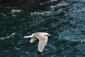 Kittiwake flying alongside the boat