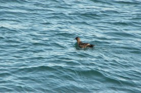 ID'd as a Shearwater - per comments