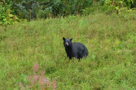 Young black bear grazing near the road. Caught him with this one bit of grass sticking out of his mouth as he paused to see what I was doing.