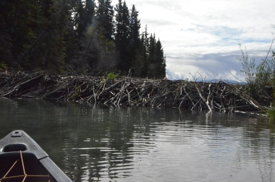 Beaver dam is about four or five feet tall. Water is right up to and trickling over the top of the dam.