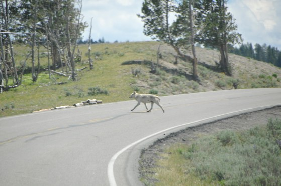 This white wolf crossed in just about the same place as the wolf I saw in 2015.
