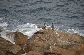 Cormorants and gulls share a rock