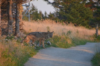 Coyote comes out onto the trail